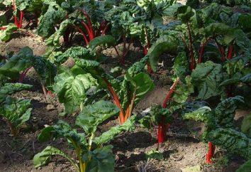 Che le verdure possono essere piantati in ombra – i segreti di giardinieri