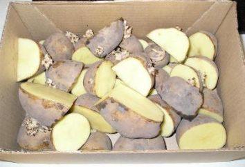 Jak kiełkować ziemniaki do sadzenia? do sadzenia ziemniaków. Przed sadzeniem ziemniaków