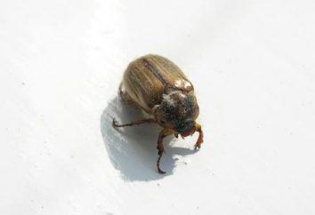 Behutsam, ein Schädling! Der Kampf gegen den Käfer Mai