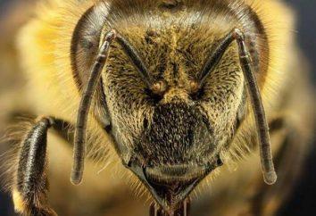 Bienen: Bienen züchten Beschreibung, Merkmale und Erzeugnisse der Bienenzucht