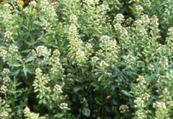 Reseda fragrante: la coltivazione e l'uso di