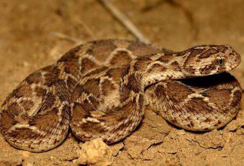 Desert snake FFS: opis, siedlisko i niebezpieczeństwo dla ludzi