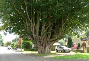 drzewo grab. Gdzie rośnie grab? Opis, zdjęcia