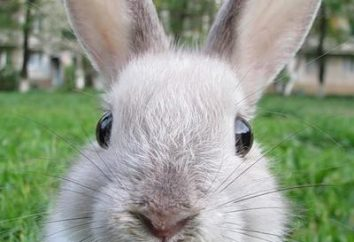 ¿Cuántos conejos ornamentales viven en casa? Lo que influye en su esperanza de vida?