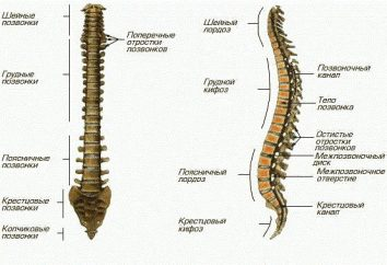 esqueleto axial – acorde. Biología de sus funciones y el significado