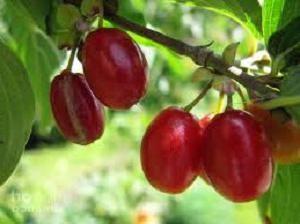 Dereń – sadzenie i pielęgnacja. Hodowlę i reprodukcję derenia. Przydatne właściwości cornel