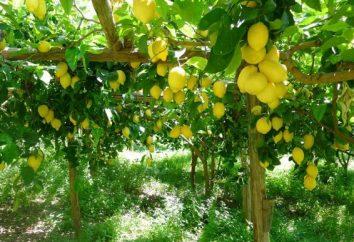 Perché il sogno di limoni: Sogno Prenota