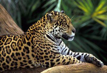 Dans une zone naturelle habitée par léopard? Description Wildcat