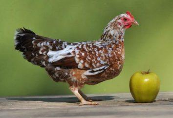 Poule bantam (photo). poules bantam race calicot et Altay