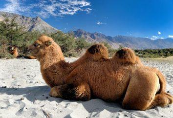 camelo bactriano: nome, fatos interessantes, fotos