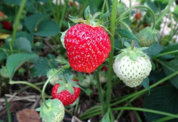 Ce qui distingue les fraises de la fraise: les principes de base de distinction