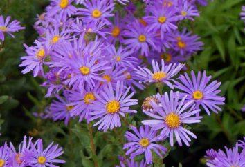 Astra: la légende de la fleur. Mythes sur les couleurs