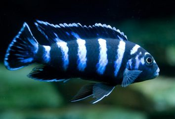 Akwarium demasoni Pseudotropheus ryby. Pseudotropheus demasoni: Kompatybilność i doradztwo w zakresie reprodukcji