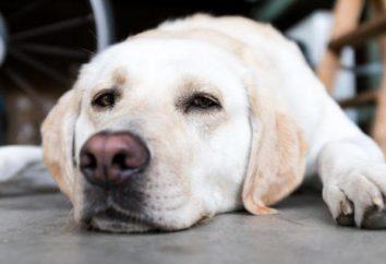 Gastroenteritis en perros: causas, síntomas, tratamiento
