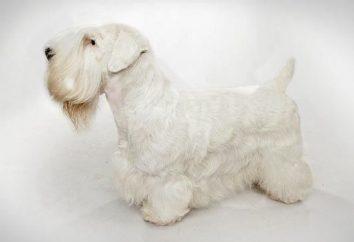 Sealyham Terrier: caractère, la description de la race, les caractéristiques du comportement, des soins et des examens des propriétaires