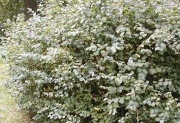 Snowberry biały – idealny roślin dla miast