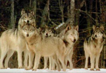 À quoi ressemble un paquet de loups: attaquer, aimer ou regarder