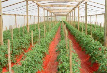 tomates fertiliser dans la serre: quand et comment fertiliser?