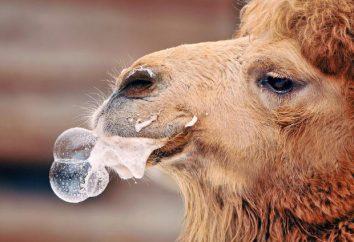 I pluję na ciebie, albo dlaczego wielbłąd pluje?