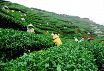 Wie braut man grünen Tee?