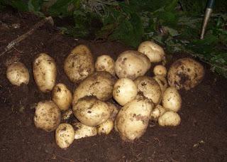 Parch w ziemniakach i leczenia przyczyn: