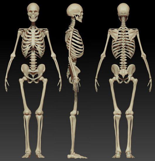 Die Struktur und Funktion des menschlichen Skeletts. Die Struktur ...