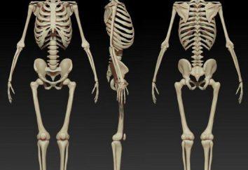 La structure et la fonction du squelette humain. La structure du squelette