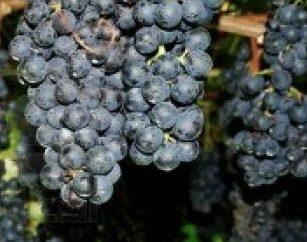 raisins transplanter à l'automne après la chute des feuilles