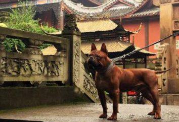 Bulldog chiński: opis rasy, charakter