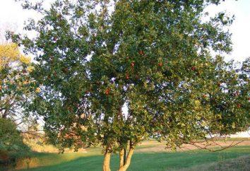 Giuggiola: la semina e la cura. Giuggiola – l'albero della giovinezza e salute