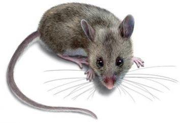 Trucizna dla myszy: co zrobić, gdy dom jest zarażonych gryzoni?