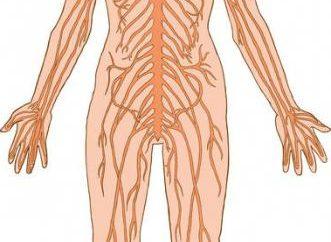 Autonomiczny układ nerwowy reguluje funkcjonowanie wszystkich narządów człowieka. Funkcja, wartość i rola autonomicznego układu nerwowego