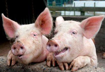 Richtige Mast von Schweinen für Fleisch zu Hause
