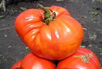 """""""Sugar olbrzym"""" – nowa hodowla pomidorów"""