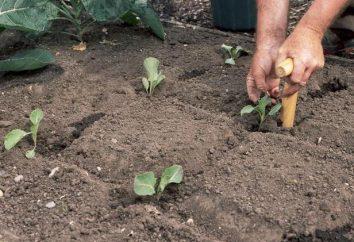 La plantación de la col – es fácil