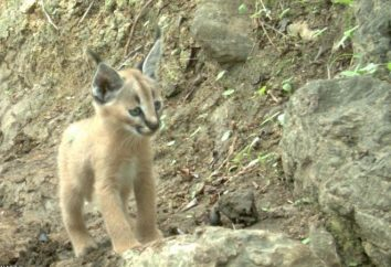 Chaton caracal (lynx Steppe)