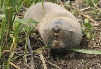 Comum toupeira rato: descrição e fotos