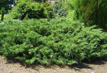 Juniper: przesadzania jesienią, sadzenie i pielęgnacja w otwartym polu, powielanie
