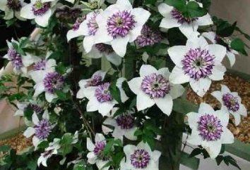 Clematis w ogrodzie: sadzenie i pielęgnacja