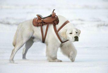 Tipos de perros de tiro: la descripción de la naturaleza, el cuidado