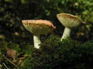 Combien de tremper les champignons et de quoi savourer