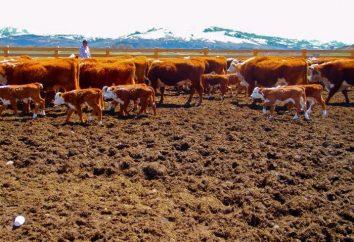 Dlaczego marzą stado krów, kobiet, dziewcząt, człowieku?
