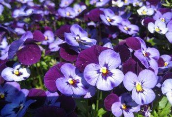 Viola cornuta: macchine agricole e utilizzato in disegno del giardino