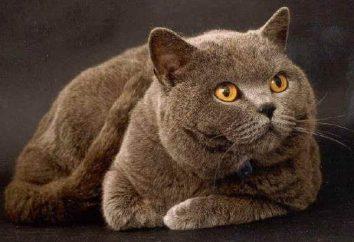 raza de gato popular. El británico – una mascota favorita