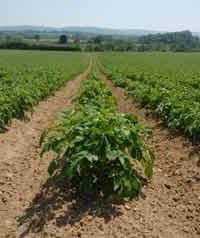 Herbicidas para patatas – el último argumento en contra de las malas hierbas