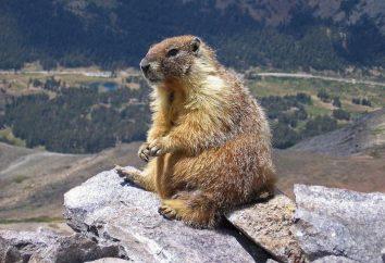 Marmotte (marmotte) – un animal précieux