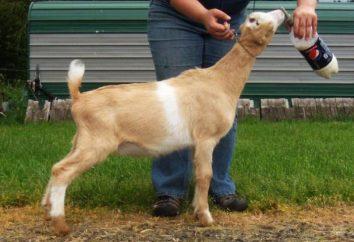 Description des races de chèvre La Mancha. Chèvre La Mancha: photo