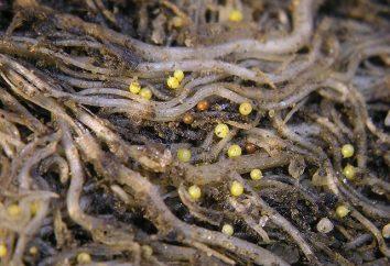 Quali sono i nematodi nel terreno? La lotta contro di loro