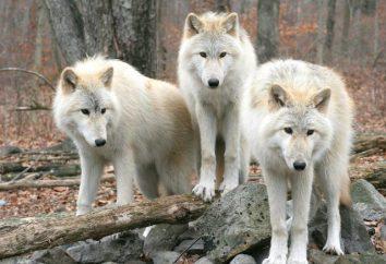 """""""Paura di lupi – nei boschi per non andare."""" Una storia breve sul significato di detti"""