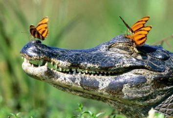 Wszystko, co musisz wiedzieć o krokodyle. Ciekawostki o krokodyle